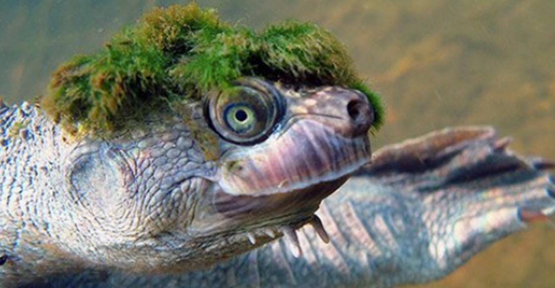Esta tortuga ya entró en la lista de animales en peligro de extinción