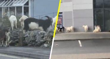 Un grupo de cabras salvajes aterroriza un pueblo de Irlanda (Leíste bien, cabras)