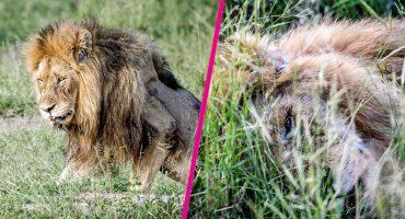 Las desgarradoras fotos de este león en sus últimos momentos de vida te romperán el corazón 