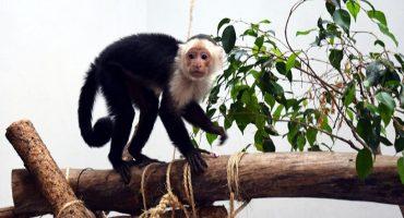 ¡Aw, qué monito! El mono capuchino podría tener una mamá adoptiva ❤️