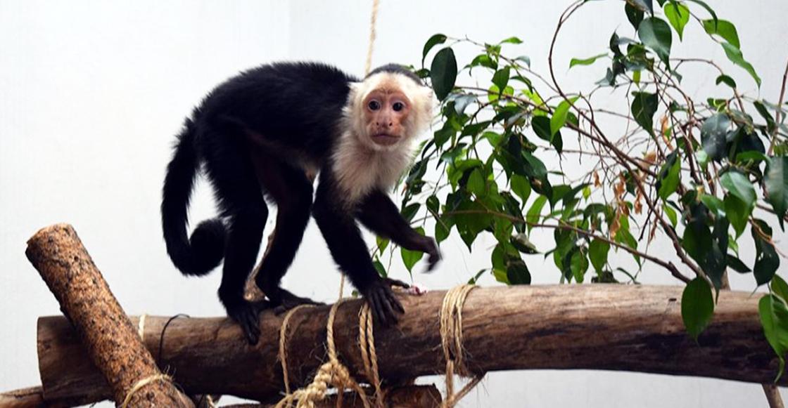 El mono capuchino en el Zoológico de Chapultepec