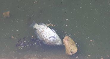 ¿Por qué se están muriendo los peces del Lago de Chapultepec?