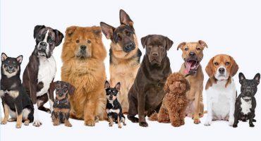 Ellos no se comen tu tarea: Las razas de perros más inteligentes