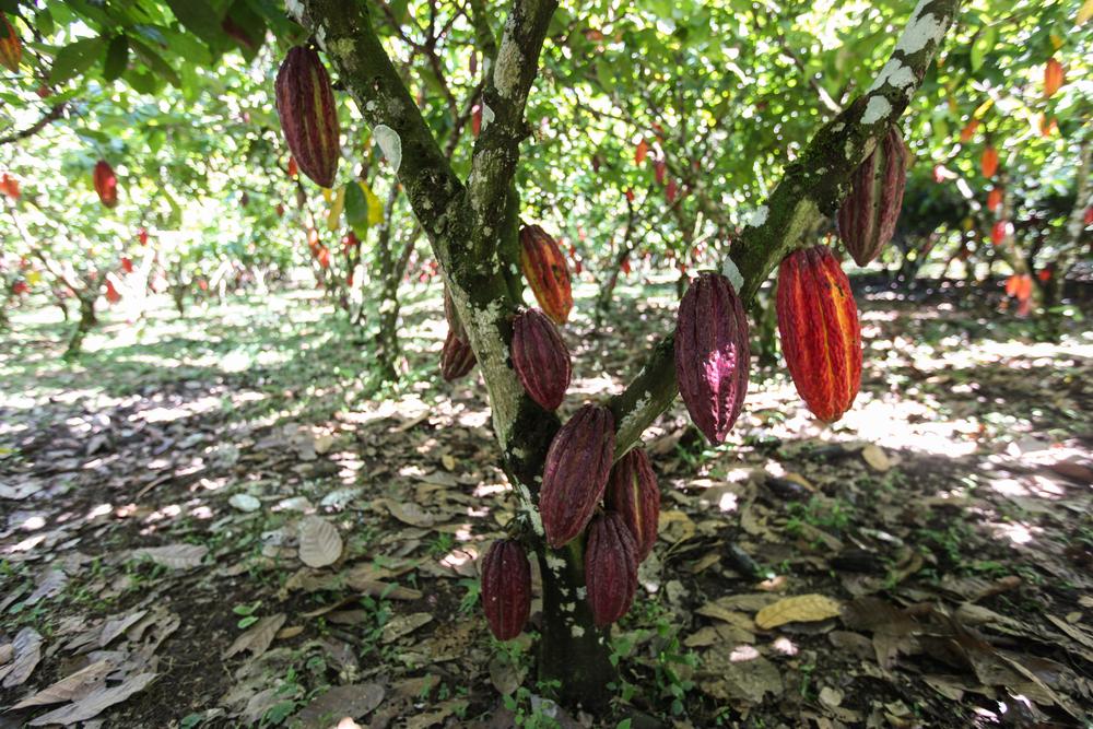 Festival Artesanal de Cacao y Chocolate