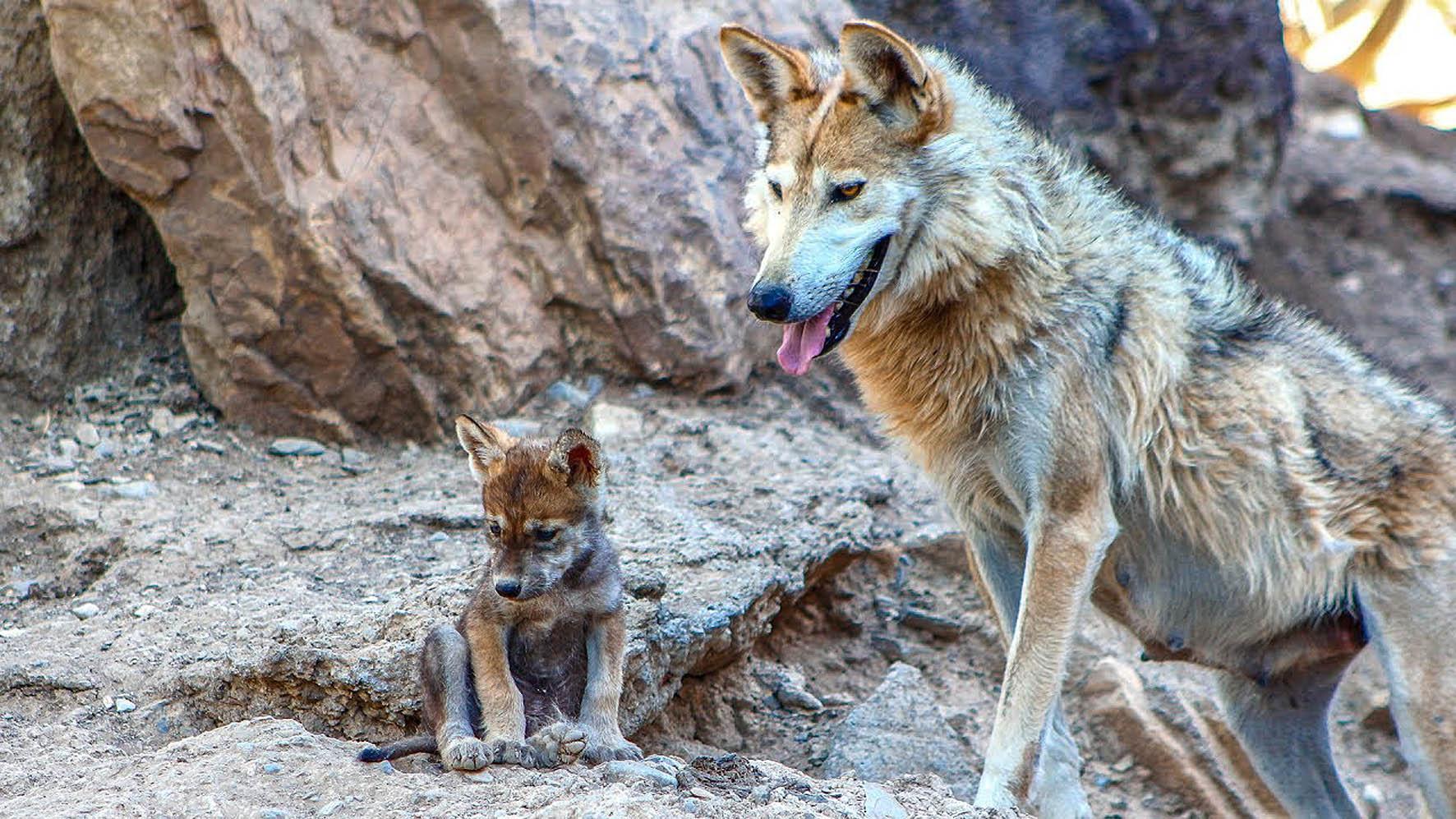 Declaran al lobo gris mexicano fuera de peligro