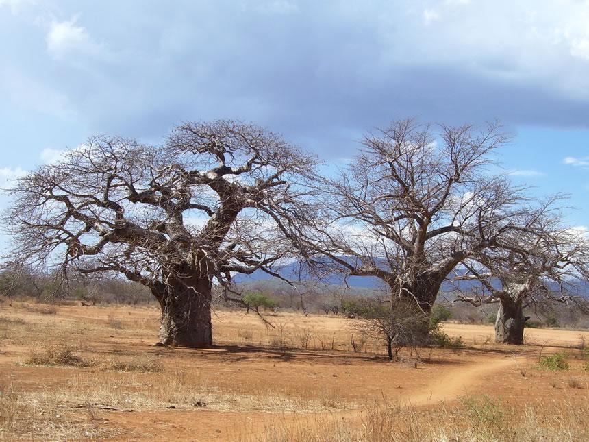 Árboles baobab se están muriendo en África