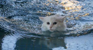 Awww: Abren en Turquía una piscina especial para gatitos 