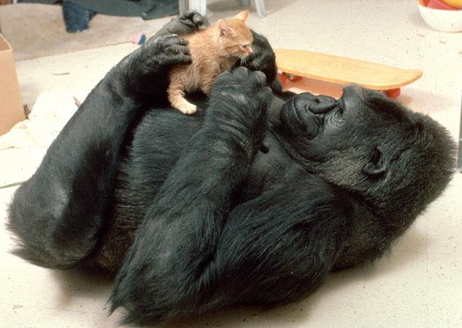 koko-gorila-gato