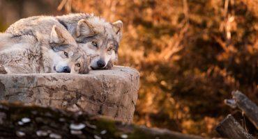¡Eso! El lobo gris mexicano salió de la lista de animales en peligro de extinción