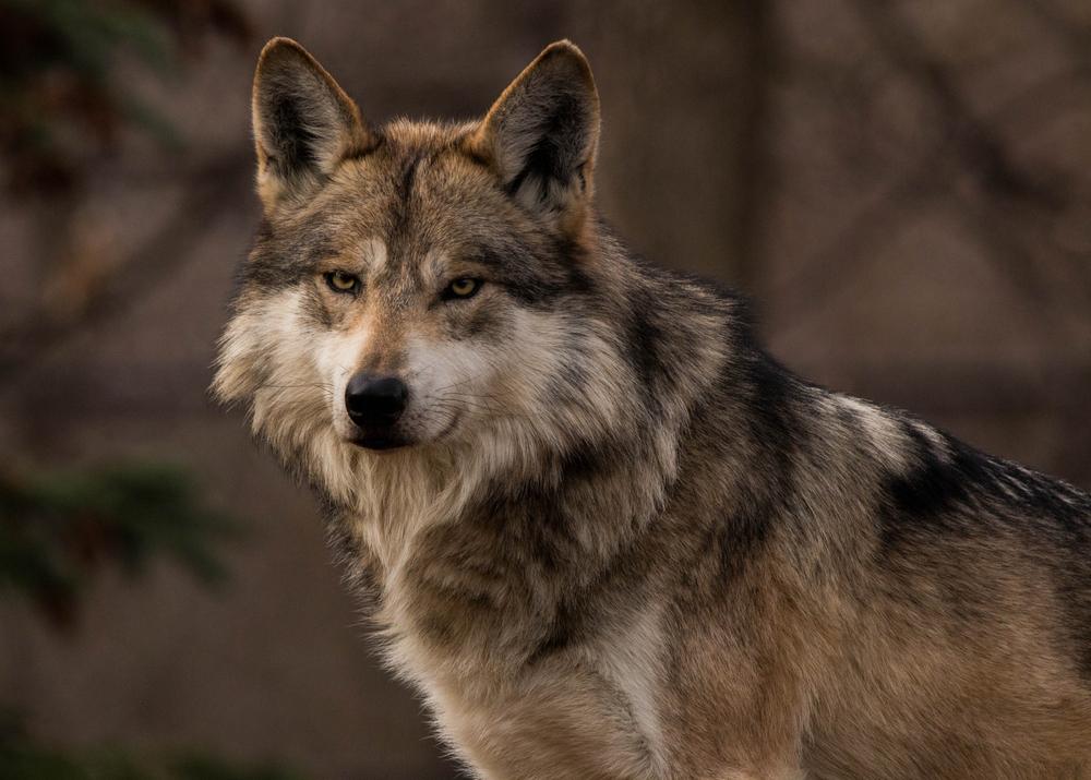 El Lobo Gris Mexicano Salió De La Lista De Animales En