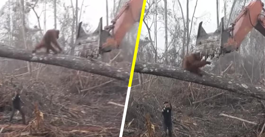 Un orangután defiende su hogar de una excavadora 💔