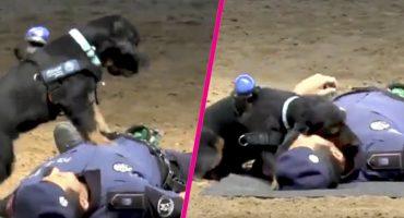 ¡Héroe de 4 patas! Mira a este perrito practicando RCP a un policía