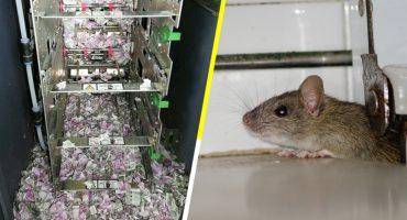 Triste pero cierto: Una rata entró en un cajero y se comió 5 mil pesos