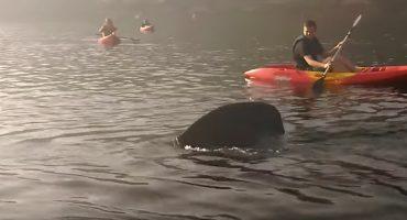 ¡¿Qué clase de película de JAWS es esta?! Un tiburón le metió tremendo susto a unos kayakistas