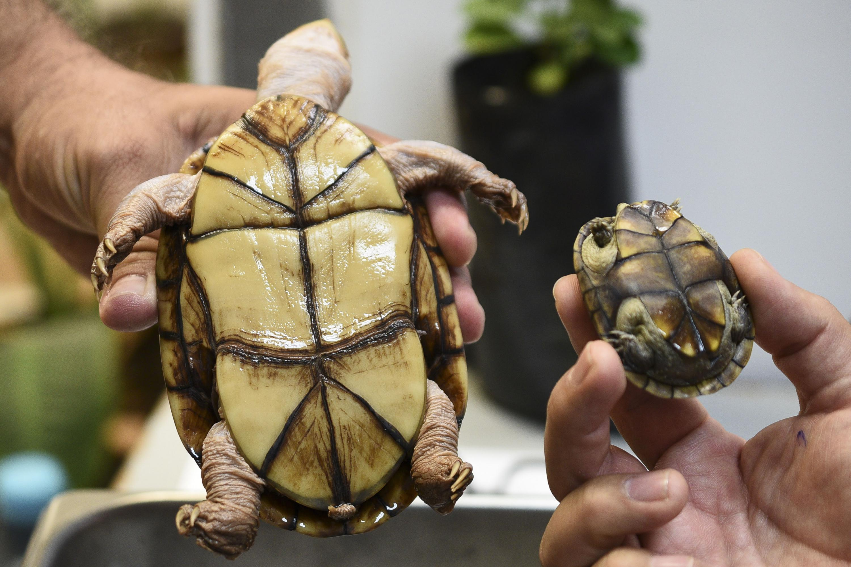 Descubren nueva especie de tortuga en México