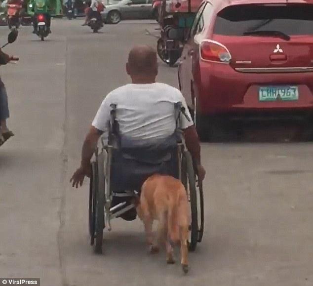 Aww! Un perro ayuda a su dueño empujándole la silla de ruedas