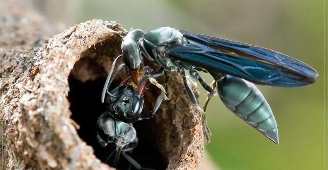 Una nueva especie de avispa inyecta huevos al picar