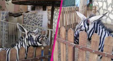WTF?! Le pusieron rayas negras a burros para hacerlos pasar por cebras