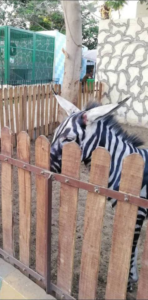 cebra burro