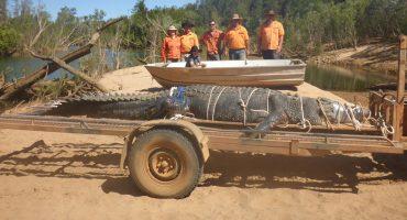 Ta' chiquito: En Australia capturaron a un cocodrilo de 4.7 metros