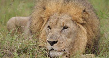 ¡KARMA! Cazadores se infiltran a una reserva natural y son devorados por leones