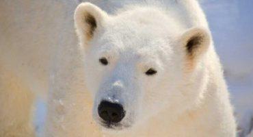 En Noruega matan a un oso polar por atacar a un guardia de turistas