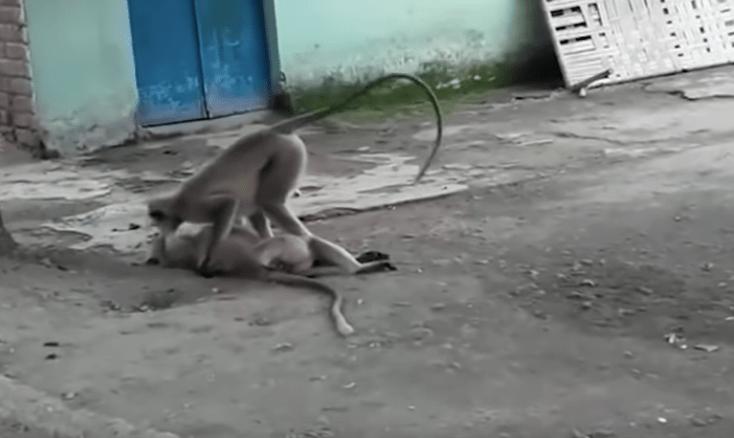 ¡Qué triste!: Un mono intentó revivir a su amigo electrocutado