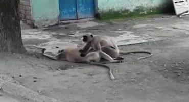 ¡Qué triste! Un mono intenta revivir a su amigo electrocutado 💔