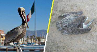 Por el intenso calor, pelícanos se desploman en Mexicali 😰