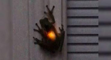 El curioso caso de la rana que emite luz tras comerse una luciérnaga