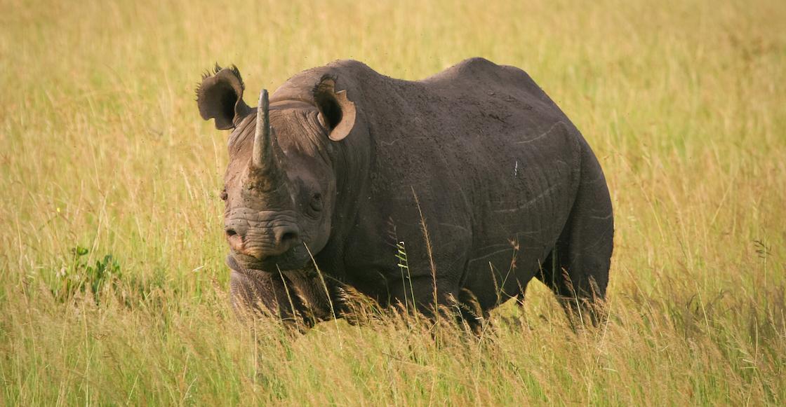 Kenia: Ocho rinocerontes mueren al ser trasladados para reproducirse