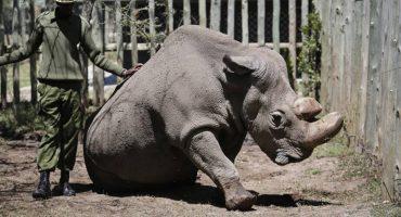 El rinoceronte blanco podría salvarse de la extinción con embriones de laboratorio