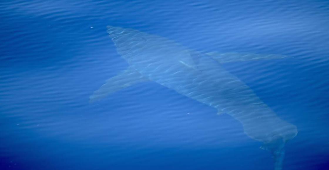 Wow! Encuentran a tiburón blanco en España luego de 30 años