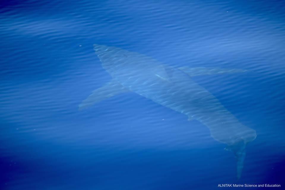 Ven tiburón blanco luego de 30 años