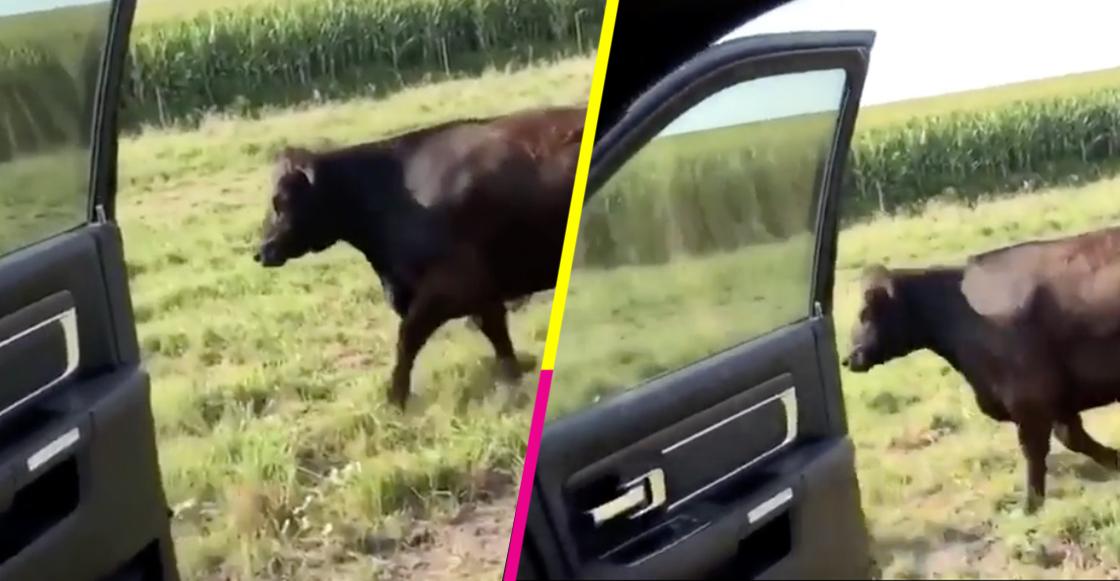 Vaca hace el reto