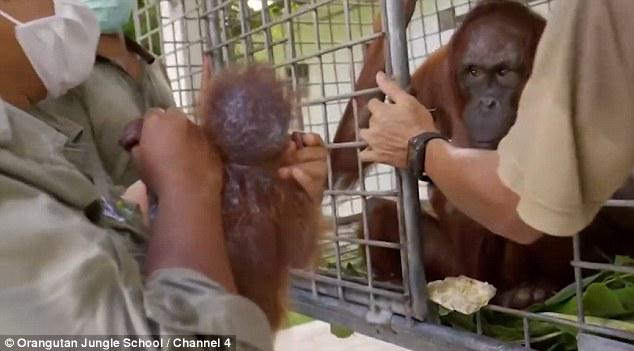 Esta orangután volvió a ver a su bebé y la abrazó