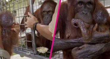 Creyeron que la rechazaría pero esta orangután volvió a abrazar a su bebé
