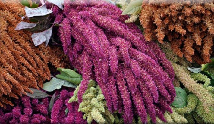 El amaranto (Amaranthus spp.) o huauhtli, en lengua náhuatl