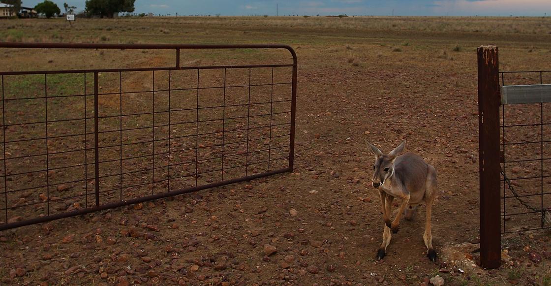 La licencia para matar canguros en Australia debido a la sequía 😩