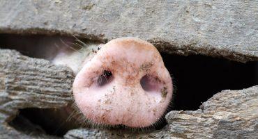 Hay más cerdos que personas en España... ¿por qué eso es malo?