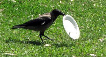¡¿What?! En Francia entrenan cuervos para recoger basura
