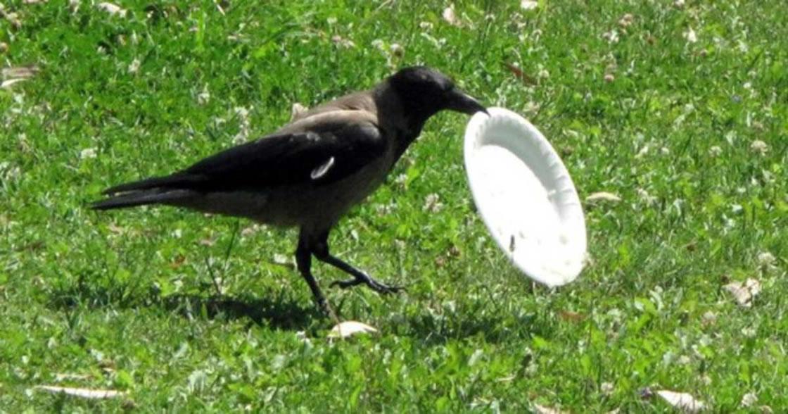 Francia entrenan cuervos para recoger basura