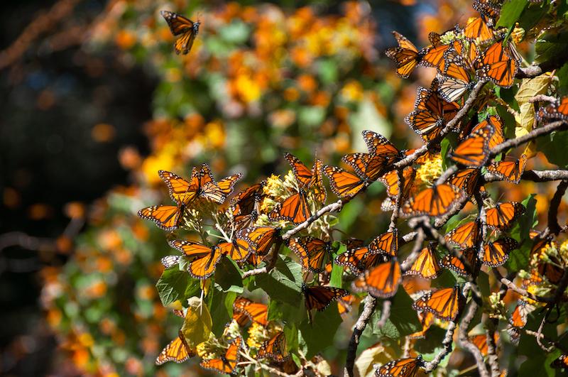 mariposa-monarca-nuevos-billetes-mexico