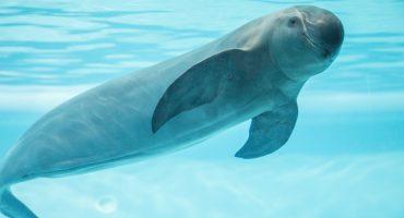 Gobierno retira apoyos y la Vaquita Marina podría extinguirse este año