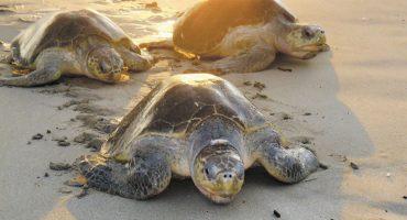Cientos de tortugas están muriendo en Chiapas y nadie sabe por qué