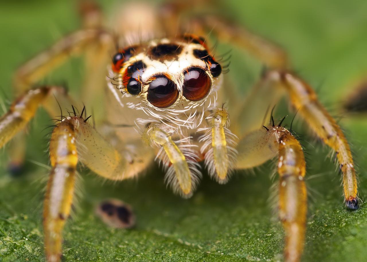 Araña con muchos ojos