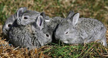 ¡Noooo! El conejo teporingo ya se extinguió en el Nevado de Toluca