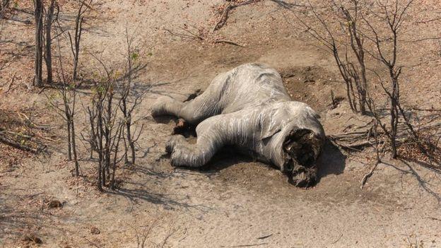Matan a casi un centenar de elefantes en África