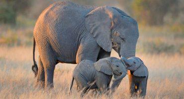 Mundo enfermo y triste: Hallan 87 elefantes asesinados sin sus colmillos