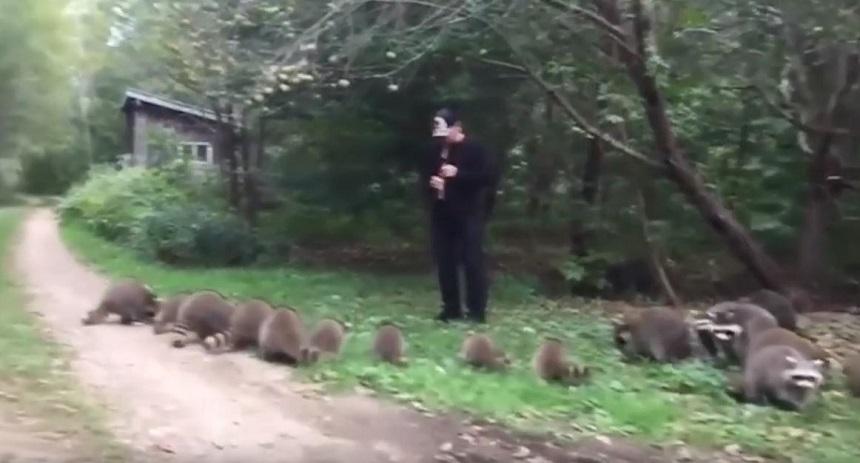 El flautista que llama a los mapaches en un bosque